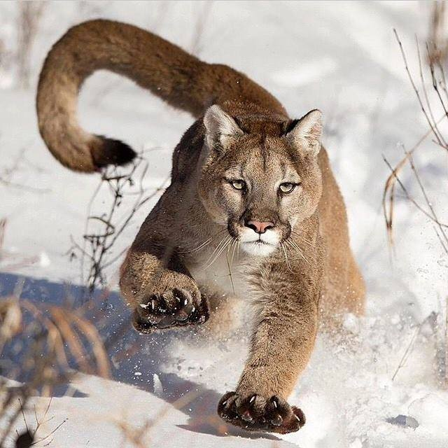 Mountain #Lion in the snow | Photography by ©Serhat Demiroglu.jpg
