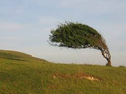 bending willow